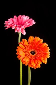 Gerbera oranje en roze geïsoleerd op zwarte achtergrond