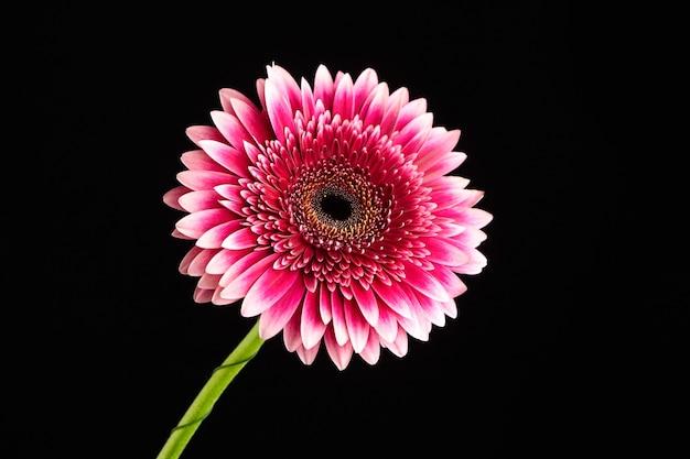 Gerbera rood roze bloem close-up, plant met grote fel roze bloemblaadjes op zwarte achtergrond