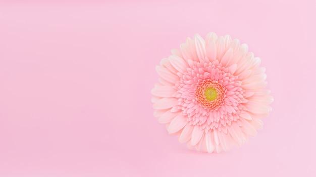 Gerberabloem op roze achtergrond.