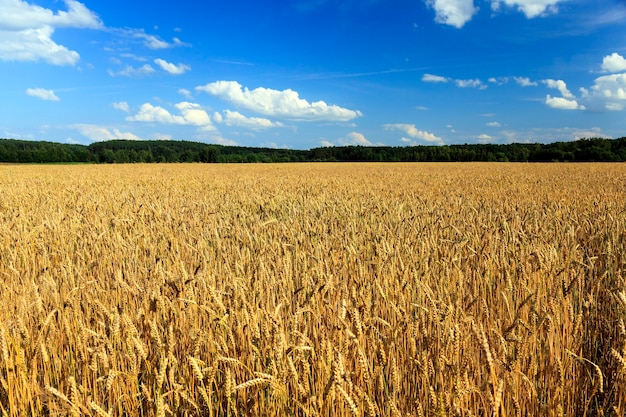 Gerijpte granen - landbouwgebied waarop opgroeien klaar om rijpe gele granen te oogsten Premium Foto