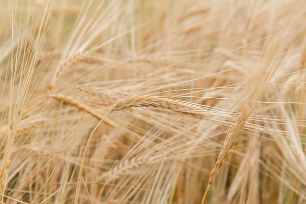 Gerst gele aar in het veld
