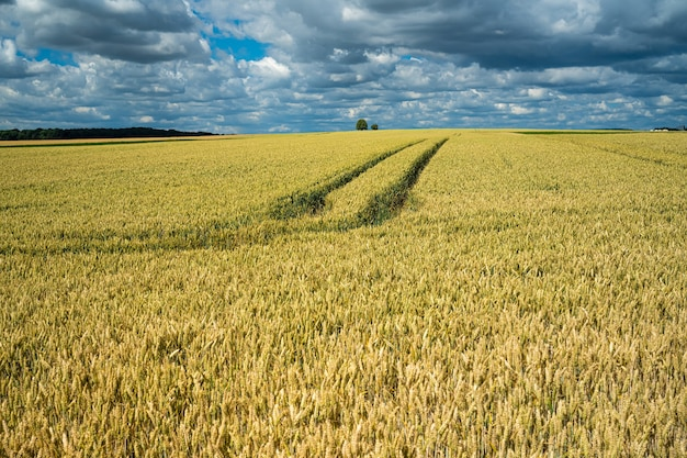 Gerst graanveld onder de hemel vol wolken