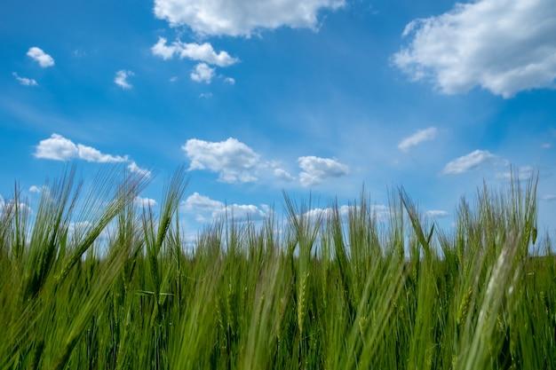 Gerstveld met blauwe lucht groene gerstkorrelgroei van gerstebrood