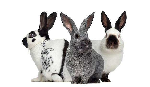 Geruit konijn en argente-konijn en russisch konijn dat op wit wordt geïsoleerd