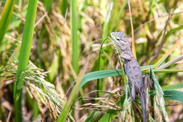 Geschoten hagedis verstopt op rijst veld