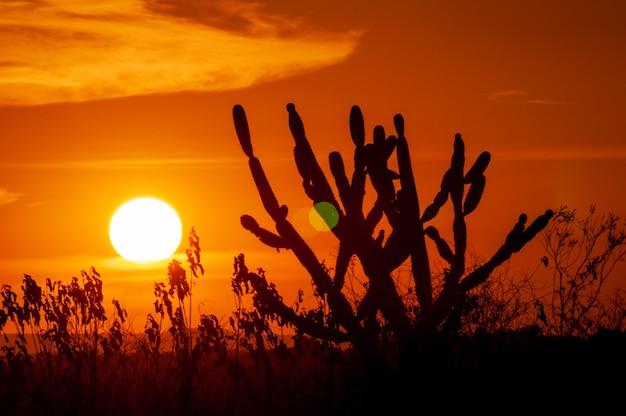 Gesilhouetteerde cactus bij zonsondergang. typisch tafereel uit de noordoostelijke regio van brazilië.