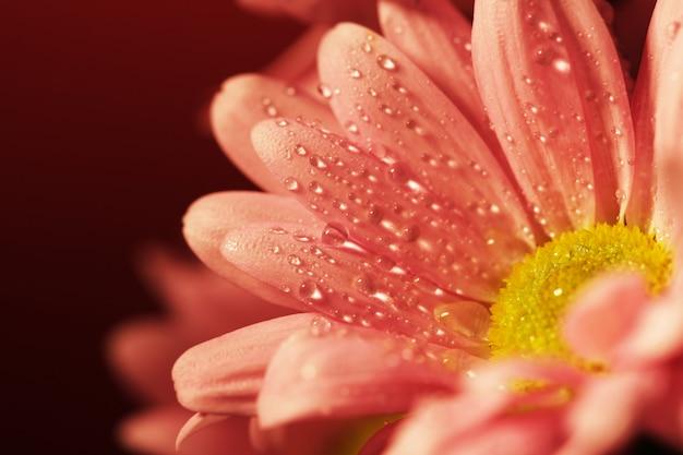 Gesloten chrysant