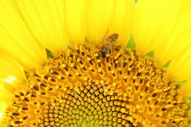 Gesloten halve afbeelding van een volle bloei zonnebloem met een kleine honingbij verzamelen van nectar
