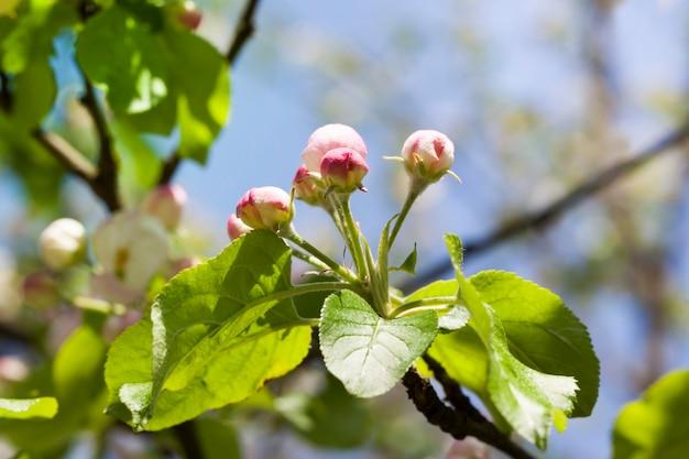 Gesloten knoppen van appelbomen voor bloei in de fruittuin in het voorjaar
