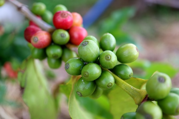 Gesloten omhoog bos van koffiekersen die op de tak van de koffieboom rijpen, nan-provincie, noordelijk thailand
