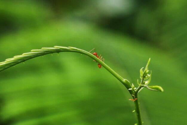 Gesloten rode ant