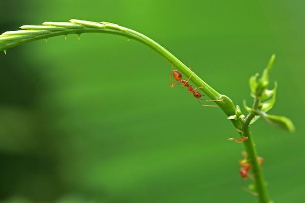 Gesloten rode mierenwandeling