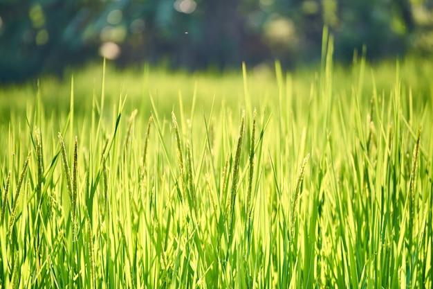 Gesloten van rijst jasmijnrijstboerderij uit thailand