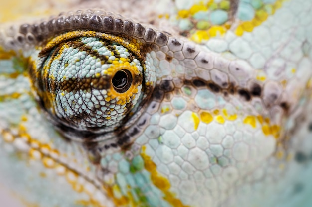 Gesluierde kameleon staart naar de camera (chamaeleo calyptratus)