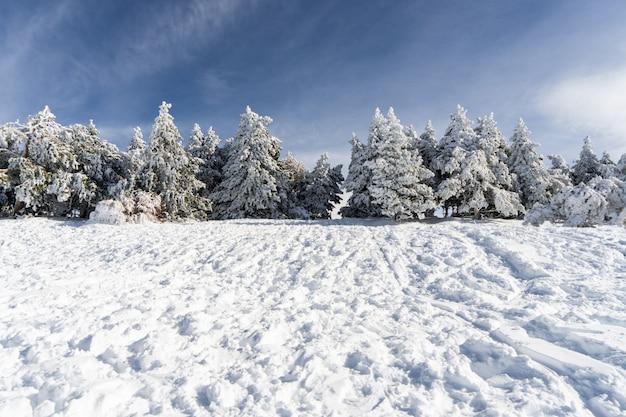 Gesneeuwde dennenboom in skigebied van sierra nevada