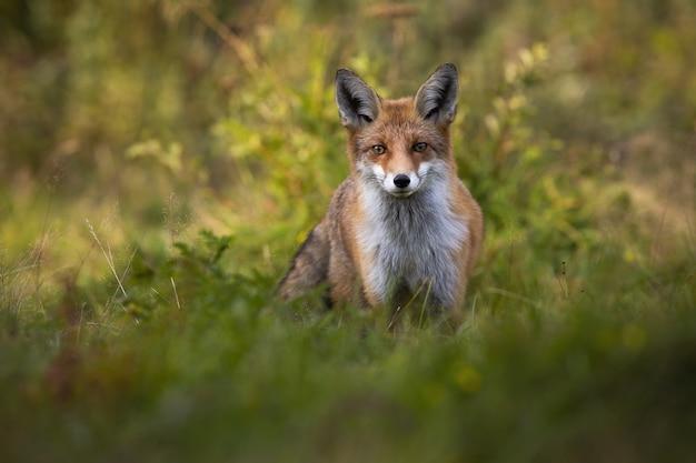 Gespannen rode vos die in camera op groene open plek staart