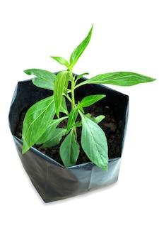 Gestanst van kruidengeneesmiddelplant andrographis paniculata deze plant om het coronavirus covid-19 te onderdrukken