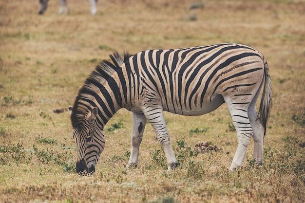 Gestreept veulen dat gras in nationaal park addo, zuid-afrika eet