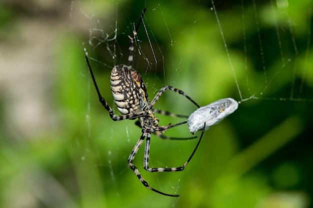 Gestreepte argiope-spin (argiope trifasciata) op zijn web op het punt om zijn prooi, een vliegmaaltijd, op te eten