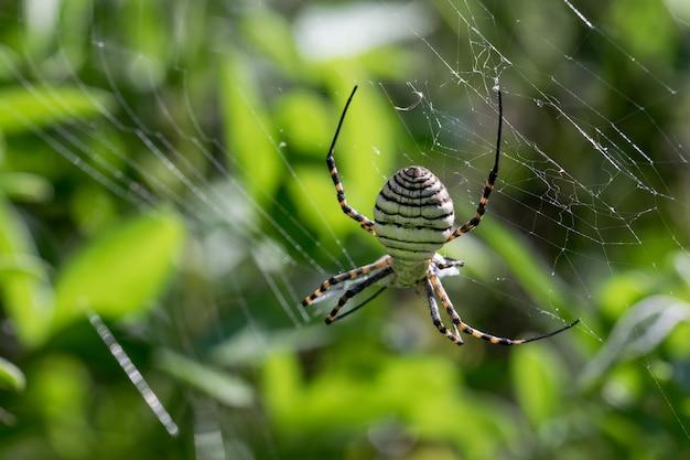 Gestreepte argiope-spin (argiope trifasciata) op zijn web op het punt om zijn prooi op te eten, een vliegmaaltijd