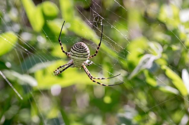 Gestreepte argiope-spin (argiope trifasciata) op zijn web op het punt om zijn prooi op te eten