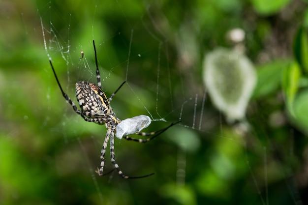 Gestreepte argiope-spin op zijn web op het punt om zijn prooi op te eten, met een eierzakachtergrond