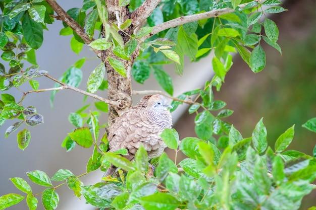 Gestreepte duifvogel in de boom