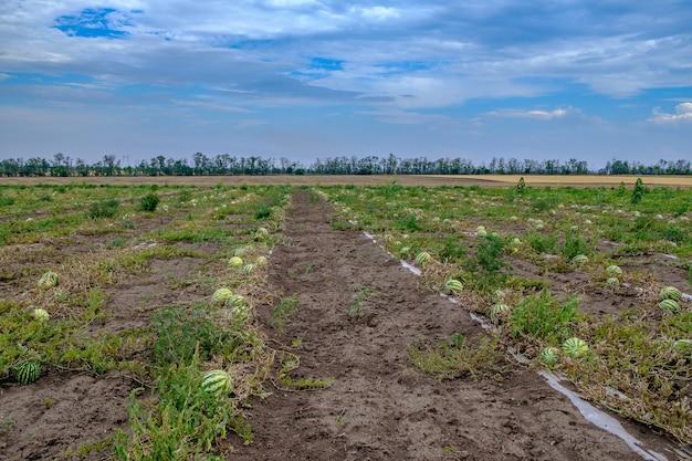 Gestreepte groene watermeloenen op het veld kopiëren ruimte