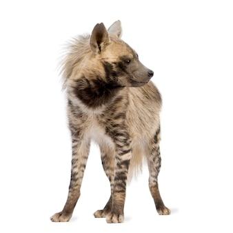 Gestreepte hyena op een geïsoleerd wit