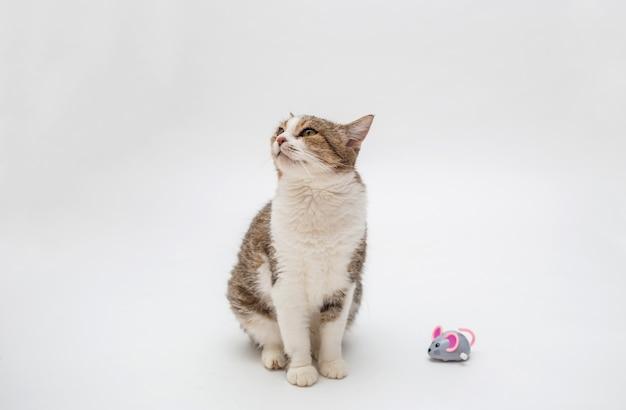 Gestreepte katkat op een witte ruimte. kopieer ruimte. een volwassen kat speelt met een muis. cyperse kattenjager en grijze muis