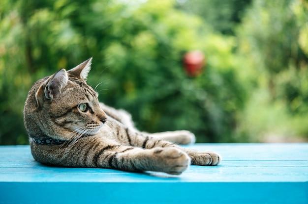 Gestreepte kattenslaap op een blauwe betonnen vloer en naar links kijkend