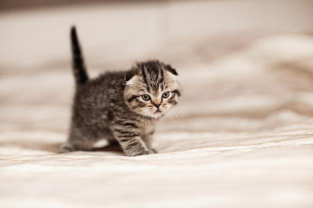 Gestreepte kleine britse kitten zittend op een plaid