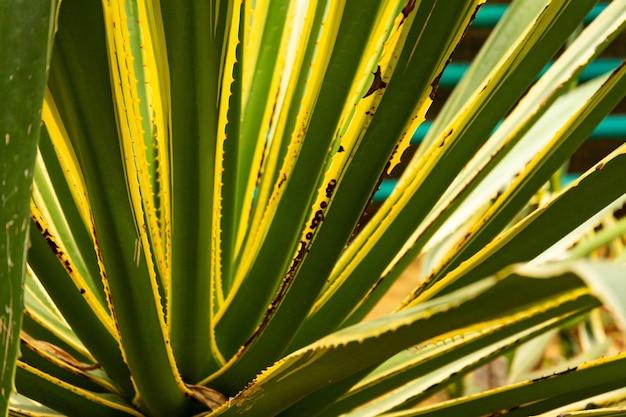 Gestreepte sappige agave, cactus, close-up. wilde planten in de straat. selectieve aandacht.