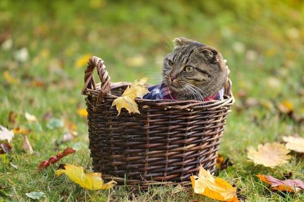 Gestreepte schotse gevouwen kat in een rieten mand