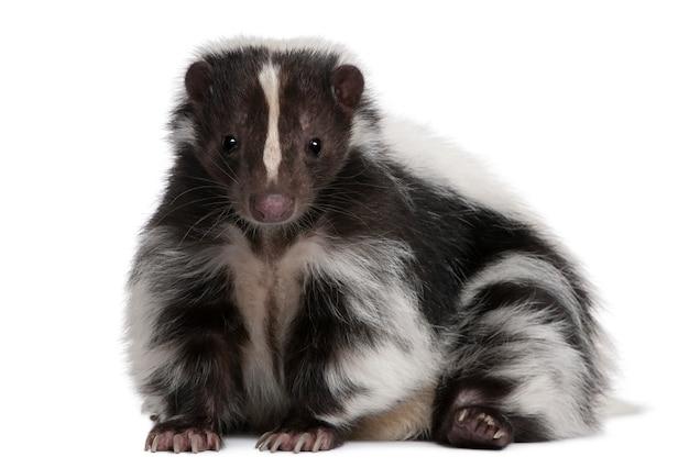 Gestreepte skunk, mephitis mephitis die zich op geïsoleerd wit bevindt
