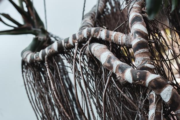 Gestreepte stammen en takken van een tropische boom verstrengeld als slangen. veel lange takken hangen naar beneden. selectieve focus op de eerste takken. de achtergrond is wazig.