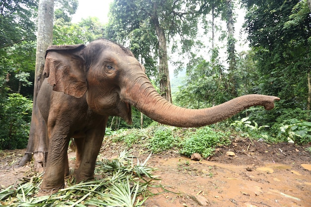 Getemde olifant in oerwoud diep bos voor toerisme