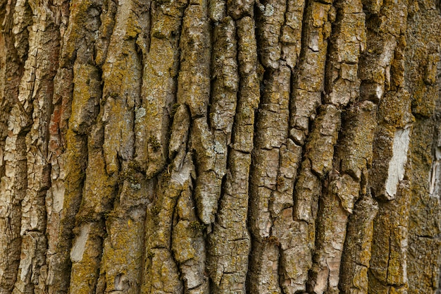 Getextureerde boomschors aard close-up voor achtergrond schors van oude populier