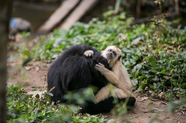 Getuft kapucijn en zwartgezichtige spinaap in yungas
