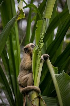 Getufte kapucijn (groothoofdige kapucijn) in yungas, coroico, bolivia