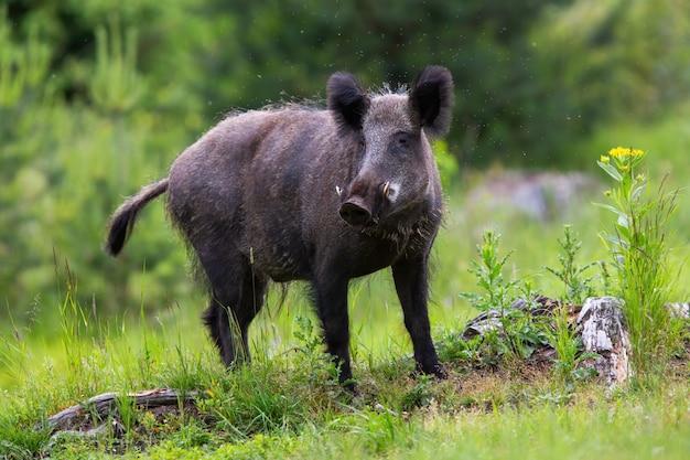 Gevaarlijk everzwijn die camera op een open plek in het lage park van tatras onderzoeken