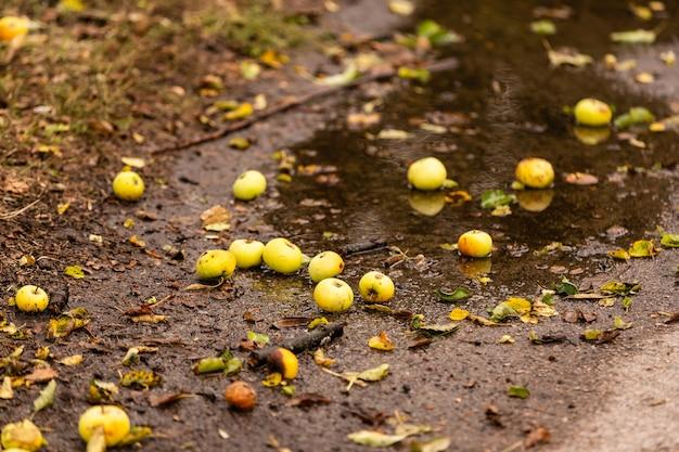 Gevallen appels liggen in een plas op de grond