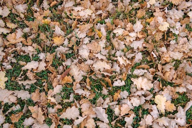 Gevallen bladeren van eik op groen gras. tapijt van gevallen de herfstbladeren, achtergrondconcept.