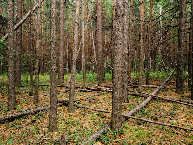 Gevallen boomstammen in een dennenbos. midden-oeral