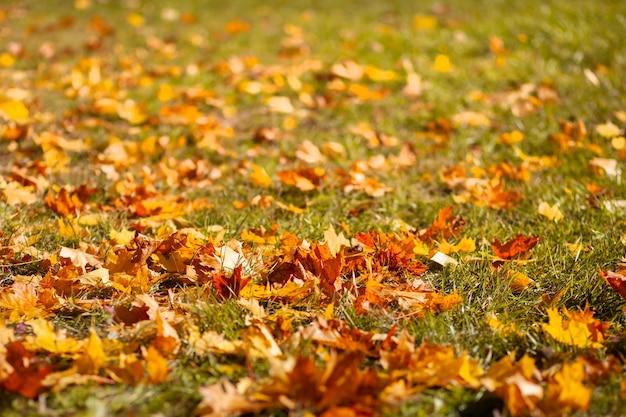Gevallen droge gele bladeren die op gras in de herfstpark liggen