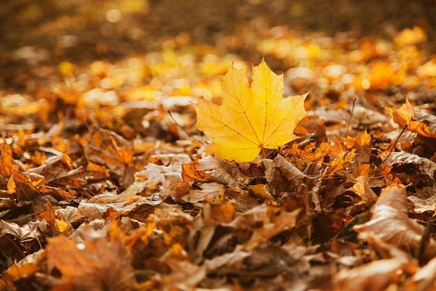 Gevallen geel esdoornblad op de achtergrond van gevallen bladeren wordt gemarkeerd door de ondergaande zon in het park, kopieer ruimte