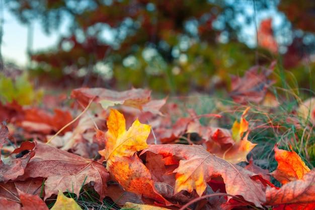 Gevallen kleurrijke esdoornbladeren die op gras in het park liggen