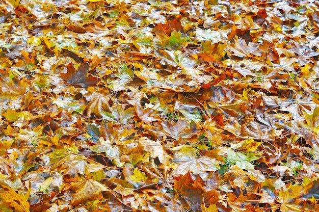 Gevallen natte gele esdoornbladeren liggen op de grond.