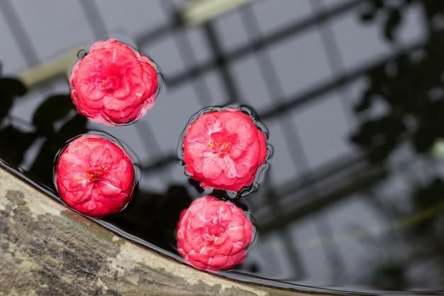 Gevallen roze camellia japonica bloemen drijvend op het wateroppervlak in de kas