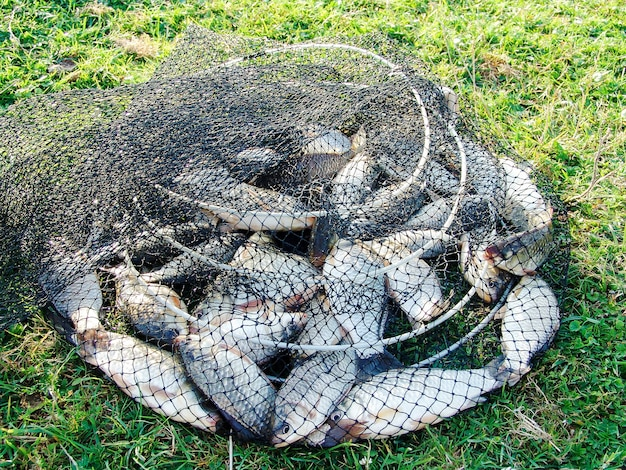 Gevangen karper in een visserskooi liggend op het gras